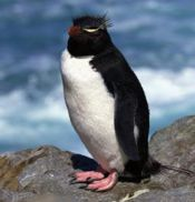 Penguin in Chile sm.jpg