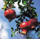 Pomegranate-1.jpg